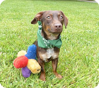 Dachshund Mix Dog for adoption in Mocksville, North Carolina - Manni