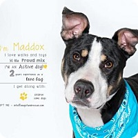 Adopt A Pet :: Maddox - Indianapolis, IN