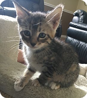 Domestic Shorthair Kitten for adoption in Chattanooga, Tennessee - Ella