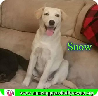 Alaskan Malamute/Jack Russell Terrier Mix Dog for adoption in Pensacola, Florida - Snow