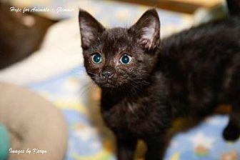 Domestic Shorthair Kitten for adoption in Marlboro, New Jersey - Glimmer
