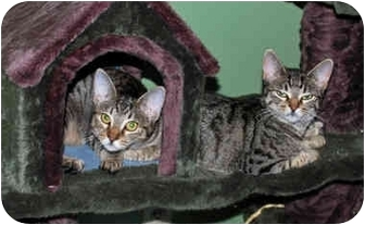 Domestic Shorthair Cat for adoption in Colmar, Pennsylvania - DaisyMae