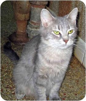 Domestic Mediumhair Cat for adoption in Ottawa, Illinois - Emily
