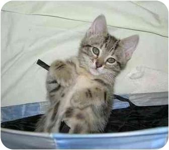 Domestic Shorthair Kitten for adoption in Toronto, Ontario - Miley