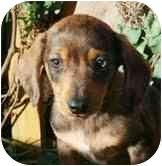 Dachshund Mix Puppy for adoption in Portland, Maine - Edward