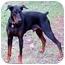 Photo 1 - Doberman Pinscher Dog for adoption in Greensboro, North Carolina - Hilton(Duke)