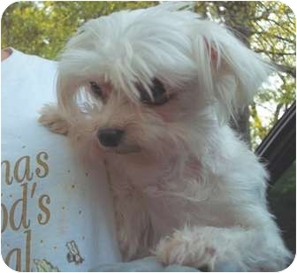 Maltese Dog for adoption in Londonderry, New Hampshire - Tiffany