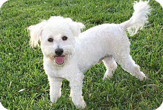 Poodle (Miniature)/Bichon Frise Mix Dog for adoption in Bellflower, California - Nigel