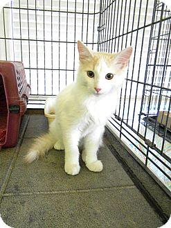 Domestic Mediumhair Cat for adoption in Pueblo West, Colorado - Toby
