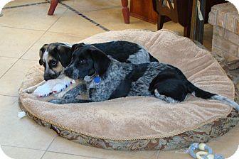 Beagle/Labrador Retriever Mix Puppy for adoption in Wood Dale, Illinois - Mario