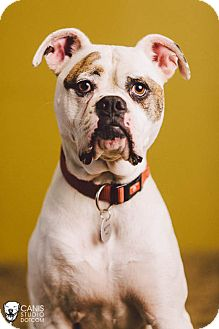 American Bulldog/Boxer Mix Dog for adoption in Portland, Oregon - Mouse