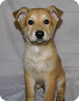 German Shepherd Dog Mix Puppy for adoption in Bel Air, Maryland - Buster