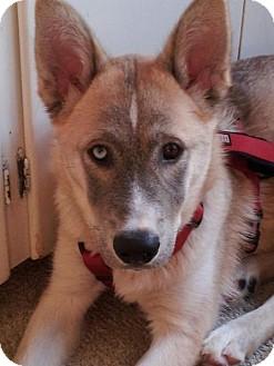 Husky/German Shepherd Dog Mix Puppy for adoption in Garden City, Michigan - Klondike