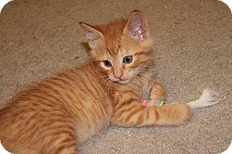 Domestic Shorthair Kitten for adoption in St. Louis, Missouri - Bedlam