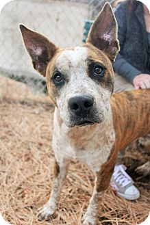 Australian Cattle Dog/American Staffordshire Terrier Mix Dog for adoption in Grass Valley, California - Magic Max
