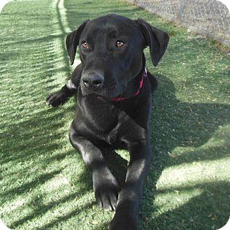 Labrador Retriever Mix Dog for adoption in Phoenix, Arizona - Aaron