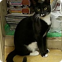 Domestic Shorthair Cat for adoption in Hallandale, Florida - Stache