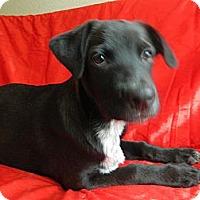 Adopt A Pet :: Maximillion - Bulverde, TX