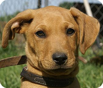 Terrier (Unknown Type, Medium) Mix Puppy for adoption in Spring Valley, New York - Chip