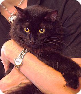 Domestic Shorthair Cat for adoption in Homewood, Alabama - Misty