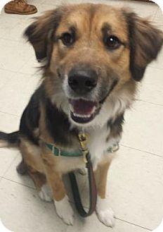 German Shepherd Dog Mix Dog for adoption in Lowell, Massachusetts - Beau