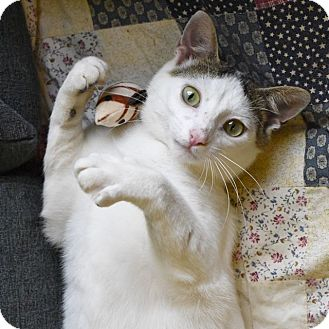 Domestic Shorthair Cat for adoption in Huntsville, Alabama - Mickey