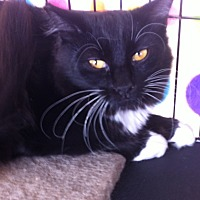 Domestic Mediumhair Cat for adoption in Sacramento, California - Honey B