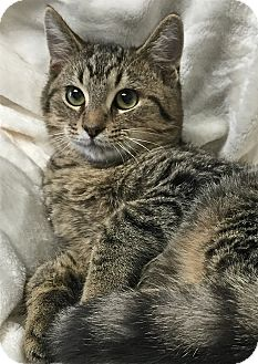 Domestic Shorthair Cat for adoption in South Haven, Michigan - Aldrik