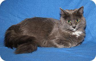 Domestic Mediumhair Cat for adoption in Marietta, Ohio - Alexander (Neutered)
