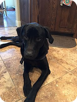 Labrador Retriever Mix Dog for adoption in Brattleboro, Vermont - Gus