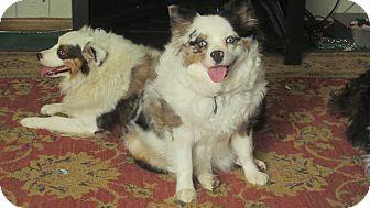 Australian Shepherd Dog for adoption in Clayton, Ohio - Possie