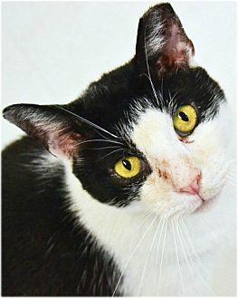 Domestic Shorthair Cat for adoption in Huntington, New York - Domino