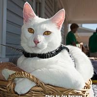 Adopt A Pet :: Picasso - Oak Ridge, TN