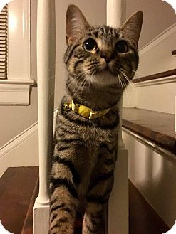 Domestic Shorthair Kitten for adoption in Mebane, North Carolina - Piper