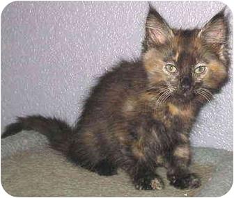 Domestic Mediumhair Kitten for adoption in Sacramento, California - Bacall