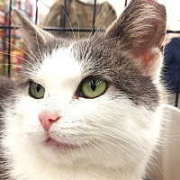 Domestic Shorthair Cat for adoption in E. Claridon, Ohio - Pebbles