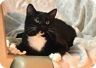 Domestic Shorthair Cat for adoption in Springfield, Oregon - Ralph