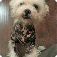 Adopt A Pet :: Hobo - Los Banos, CA