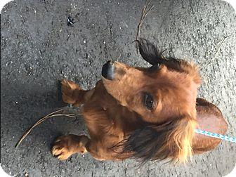 Dachshund Dog for adoption in Richmond, Virginia - Mojo