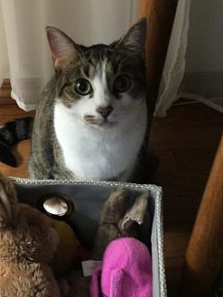 Domestic Shorthair Cat for adoption in Johnson City, Tennessee - Leia