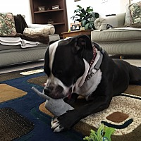 Adopt A Pet :: Shadow 1 - Las Vegas, NV