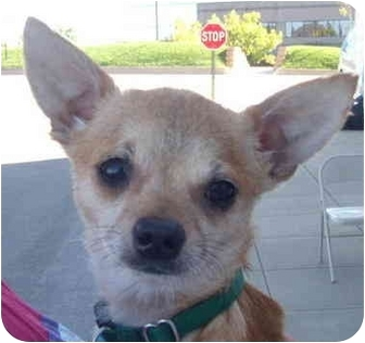 Chihuahua Dog for adoption in House Springs, Missouri - Dexter