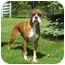 Photo 1 - Boxer Dog for adoption in Arlington Heights, Illinois - Sweetheart