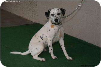 Dalmatian Mix Dog for adoption in Newcastle, Oklahoma - Faith Petunia