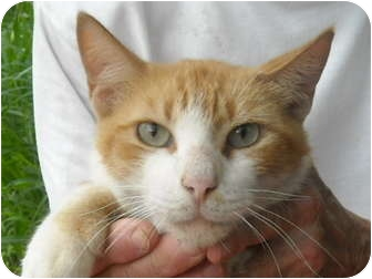 American Shorthair Cat for adoption in Brownsville, Texas - Leggy