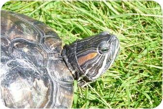 Turtle - Water for adoption in Richmond, British Columbia - Slider