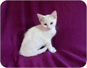 Domestic Shorthair Kitten for adoption in Tustin, California - Hannah
