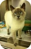 Siamese Cat for adoption in Staunton, Virginia - Simon