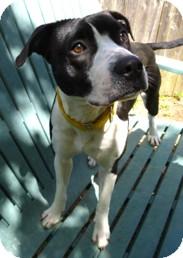 American Pit Bull Terrier Mix Dog for adoption in Milton, Massachusetts - Petunia
