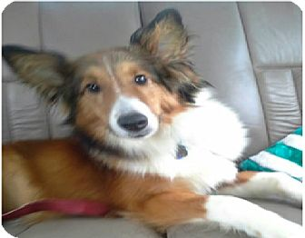 Sheltie, Shetland Sheepdog Dog for adoption in COLUMBUS, Ohio - Apollo